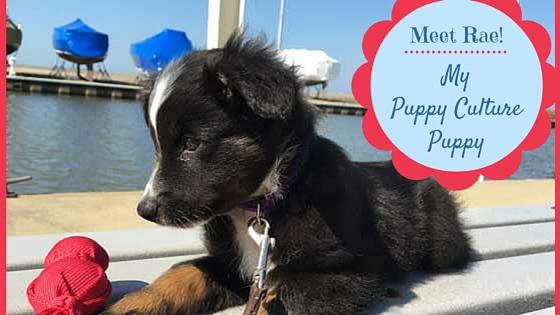 "Meet ""Rae"", My Puppy Culture Puppy!"